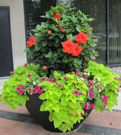 Hibiscus in planter- At Sunshine we have all the components to make this Pin come true! Come in and ask today!