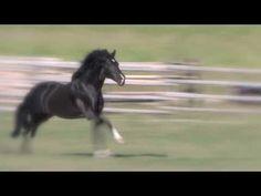 Amazing liberty black Andalusian stallion w/ Jonathan Field