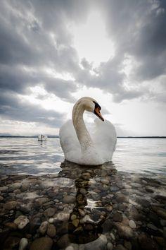 Celebrity Swan at Lake Starnberg