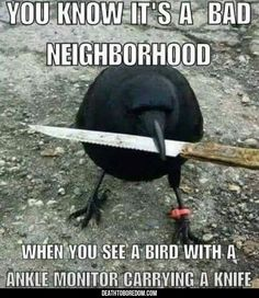 You know it's a bad neighborhood when you see a bird with an ankle monitor and a knife. >Funny Animal Pictures Of The Day - 22 images