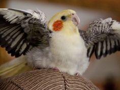 Fabulously Floofy Baby Cockatiel