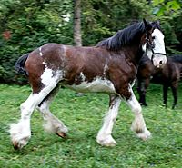 1st place clydesdale filly foal | black creek village cyldesdale