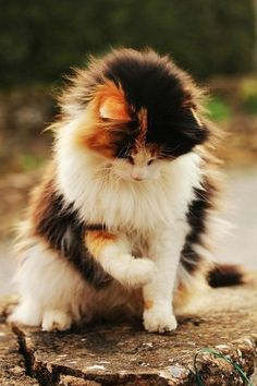 We had a gorgeous tortoiseshell cat like this when I was young.  Unfriendly beast as I recall.  Her name was Scungie.