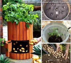 potato barrel  - Garden Ideas