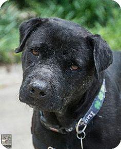Sharon Center, OH - Pit Bull Terrier/Labrador Retriever Mix. Meet Evan, a dog for adoption. http://www.adoptapet.com/pet/12991952- Maggie's Mission