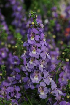 Serena Blue Angelonia from PanAmerican Seed