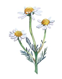 Camomile Flowers in Watercolour Original Artwork by HollyExley