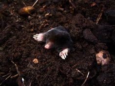 Get Rid Of Moles Burrowing Animals With Dawn Dish Soap – Frugal Blossom Mole Removal Yard, Moles In Yard, Getting Rid Of Gophers, Mole Holes, Covered Patio Plans, Bug Spray Recipe, Weed Killer Homemade, Pineapple Planting, Lawn Care Tips
