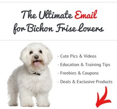 How Bad Do Bichon Frises Shed? - Advice from Real Bichon Frise Owners