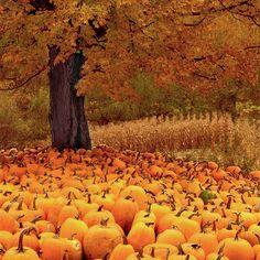 Field of dreams 😍🎃 autumn fall pumpkins jackolantern spooky halloween leaves nature ghost witches love mood crisp cozy Fotografia Macro, Autumn Scenes, Autumn Aesthetic, Fall Pictures, Autumn Photos, Fall Harvest, Landscape Photographers, Fall Pumpkins, Fall Season