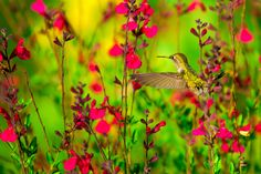 https://flic.kr/s/aHsiN52Lim | Hummingbirds
