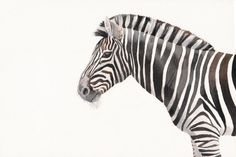 Zebra Painting Z059 print of Watercolor painting by Splodgepodge, $20.00