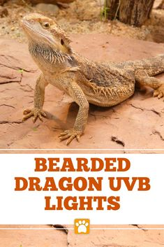 Getting the best UVB light for a bearded dragon is one of the most important decisions you will make as a bearded dragon owner. If a bearded dragon isn't provided with enough UVB light they can suffer. Bearded Dragon Tank Setup, Bearded Dragon Lighting, Bearded Dragon Habitat, Bearded Dragon Funny, Reptile Habitat, Reptile Cage, Reptile Enclosure, Bone Diseases, Terrariums