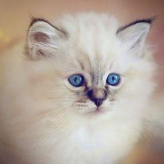 #tabbytuesday calls for a cutie. This baby sealtabby is called Liprima's Whispy Wincey @liprimas #birmans #birman #sacredbirman #heligbirma #birmania #birmanie #pyhäbirma #instabirmans #birmansofinstagram #blueeyes #whitecats #fluffycats #instacats #catsofinstagram #cats #kittens #instakittens #kittensofinstagram #lovecats #birmavanner #tabbycats #toocute #beautifulcats #excellentcats #tortiecats #cutepetclub #sealtabby #bruntabby #tabbybaby