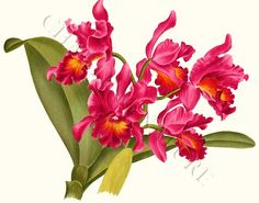 For our Orchid theme bathroom. Cattleya martinii - Giclee Print, Tropical Orchid Art Print id=6509 $19.95 Chartingnature.com