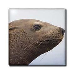 """Alaska, Angoon, Steller sea lion, Chatham Strait - US02 PSO0621 - Paul Souders - 12 Inch Ceramic Tile by 3dRose. $22.99. High gloss finish. Clean with mild detergent. Dimensions: 12"""" H x 12"""" W x 1/4"""" D. Construction grade. Floor installation not recommended.. Image applied to the top surface. Alaska, Angoon, Steller sea lion, Chatham Strait - US02 PSO0621 - Paul Souders Tile is great for a backsplash, countertop or as an accent. This commercial quality construction grade tile has..."""