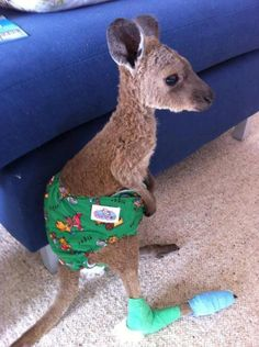 """This poor little joey was hurt in a recent bush fire. His feet are pretty burnt so the goal is to try and keep him off his feet so they can heal. Spare a thought for the poor little fella, although he is looking pretty cute in his little roo-nappy."" (""Nappy"" is kangaroo language for ""diaper."")"
