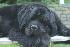Newfoundland! This is what my black lab is derived from!!