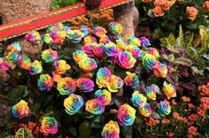 THE RAINBOW ROSES!      The Rainbow roses were  created by Dutch flower  company owner Peter Van De  Werken, who produced them  by developing a technique for injecting natural pigments into  their stems while they are  growing to create a striking  multicolored petal effects. The  dye are produced from natural  plant extracts and absorbed by the flowers as they grow. A  special process then controls  how much color reaches each  petal- with spectacular results.