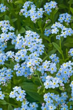 Forget-Me-Not flowers (Myosotis alpestris), Alaska state flower.