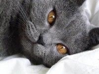 Le chartreux, un chat ... Chien !