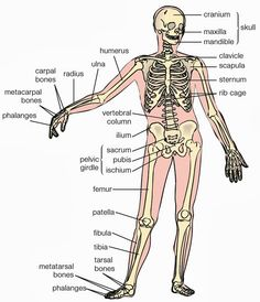 52324ea306a7714def5ab8c71b5a8d9b bones of the body body bones?b=t 9 best skeletal system images human skeleton, body bones, human