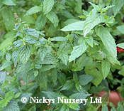 Buy Herb Seeds a large range from Agrimony to Yarrow online Mint Sauce, Herb Seeds, Unusual Plants, Garden Shop, Flower Seeds, Hanging Baskets, Blue Flowers, Perennials, Herbs