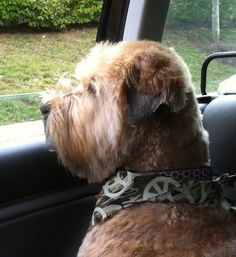 Fergus, my precious Wheaten Terrier
