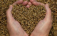 Hemp Seeds are a potent superfood that can provide a natural remedy to digestive issues while decreasing risks of heart disease! Hemp is a true superfood. Hemp Seed Recipes, Cura Diabetes, Cannabis Plant, Cannabis Growing, Vitamin A, Hemp Hearts, Protein Sources, Hemp Seeds, Side Dishes