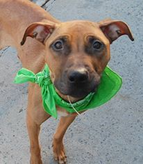 TO BE DESTROYED 11/10/13 Brooklyn Center - P  My name is PETE. My Animal ID # is A0983750. I am a male brown and white brown. The shelter thinks I am about 2 YEARS old.  I came in the shelter as a STRAY on 10/31/2013 from NY 11233, owner surrender reason stated was STRAY. I came in with Group/Litter #K13-158744. https://www.facebook.com/photo.php?fbid=700772969935585&set=a.611290788883804.1073741851.152876678058553&type=3&theater