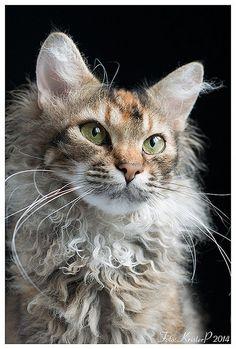 LaPerm cat | Flickr – Compartilhamento de fotos!