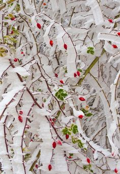 Ribbons of Snow and Red Berries.