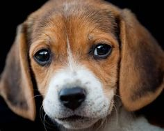 Are you interested in a Beagle? Well, the Beagle is one of the few popular dogs that will adapt much faster to any home. Cute Beagles, Cute Puppies, Dogs And Puppies, Art Beagle, Beagle Puppy, Beagle Hound, Hound Puppies, Puppy Face, Puppy Eyes