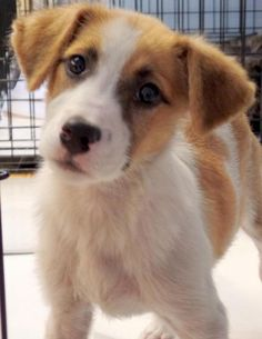Meet Swizzle, a Petfinder adoptable Australian Shepherd Dog | Falls Church, VA | Please make contact here            SCBOB1254@GMAIL.COMContact your coordinator at         ...