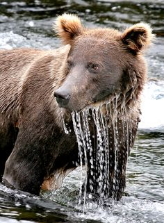 A Grizzly Bear Fishing in a River at Katmai National Park, Alaska. Bear Pictures, Animal Pictures, Bear Fishing, Fishing Tips, Sport Fishing, Sloth Bear, Katmai National Park, National Parks, Animals