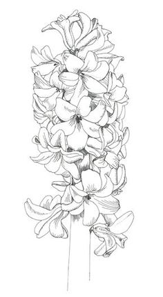 Hyacinth tattoo for my grandma Flower Line Drawings, Flower Sketches, Art Drawings, Botanical Drawings, Botanical Art, Botanical Illustration, Watercolor Flowers, Watercolor Paintings, Flower Doodles