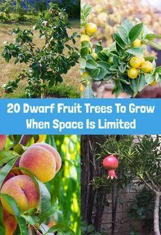 Fruit Tree Garden, Dwarf Fruit Trees, Growing Fruit Trees, Fruit Plants, Garden Trees, Small Fruit Trees, Fruit Fruit, Patio Fruit Trees, Indoor Fruit Trees