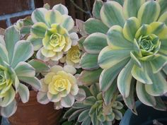 10 Best Succulents | Apartment Therapy