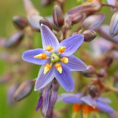 All Plants - victorianflora Australian Wildflowers, Australian Flowers, Australian Plants, Paper Daisy, Plant Images, All Plants, Native Plants, Garden Inspiration, Perennials