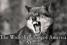 """Even The Wolf Says: """"You named your child North West? All About Wolves, My Best Friend, Best Friends, Angry Wolf, America Movie, Wolf Howling, Lone Wolf, Chest Tattoo, Rare Photos"""