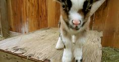 Baby Goats Are My Weakness!   The Animal Rescue Site Blog