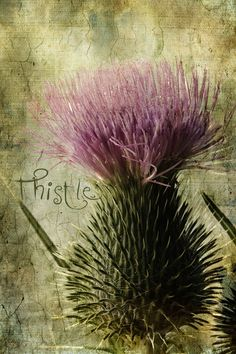 Summer 1995 we had two weeks' lovely holiday with our three daughters in Scotland and this thistle was blooming there everywhere beautifully <3