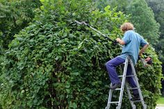 Hedge, Bush and Shrub Trimming and Pruning