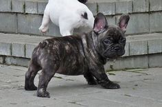 French Bulldog puppy brindle.