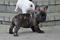 French Bulldog puppy brindle.