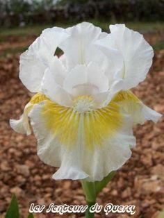 Iris 'Lunar Frost'. Iris intermédiaire.  Iris blanc pur avec le centre des pétales jaune or vif et barbe jaune orange à pointe blanche.   Floraison : hâtif, mi-saison.   Obtenteur : Keppel 1996.