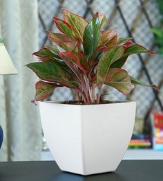 Red Aglaonema - This beautiful houseplant's dark green leaves with streaks of red and pink make it look really adorable indoors. It is absolutely easy to grow like Chinese evergreen and tolerates low light conditions and drought.