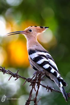 Hoopoe - The pink color seems fairly rare. Browns are more the norm.