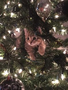�Stuck? I�m not stuck. Stuck in the holiday spirit, maybe.� | 18 Cats Who Are Really, Really Excited About Christmas Trees