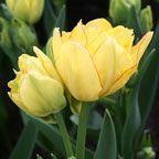 Image Aquilla Bunch or Bouquet Tulip